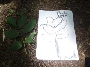 """""""1 hole leaf"""": An Elder leaf is made up of many leaflets"""